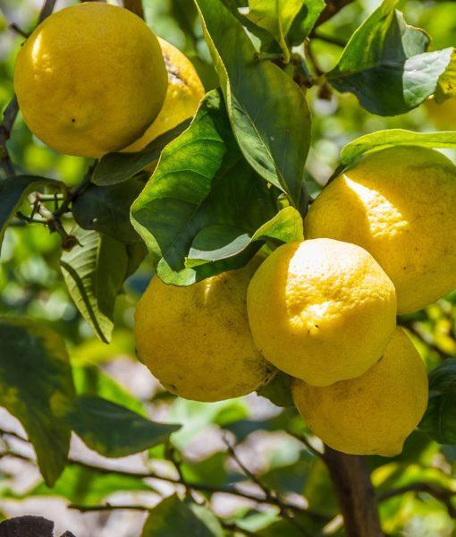 limoni-min 2