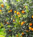 arance-di-sicilia