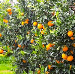 vendita mandarini online