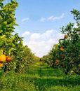 arance-di-sicilia-2