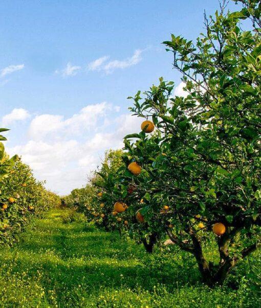 giardino di arance di sicilia