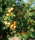 giardini di arance di sicilia