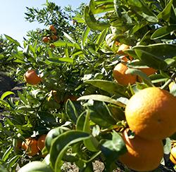 piantagione mandarini
