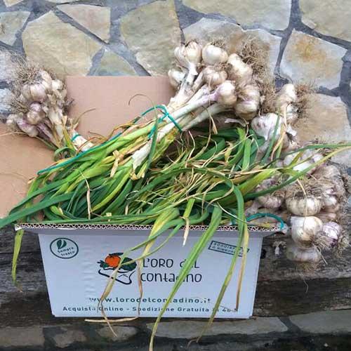aglio fresco coltivato in sicilia