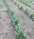aloe-pianta-4
